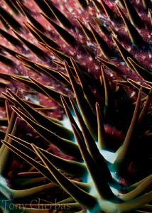 Crown of Thorns: abstract with back-lighting by Tony Cherbas